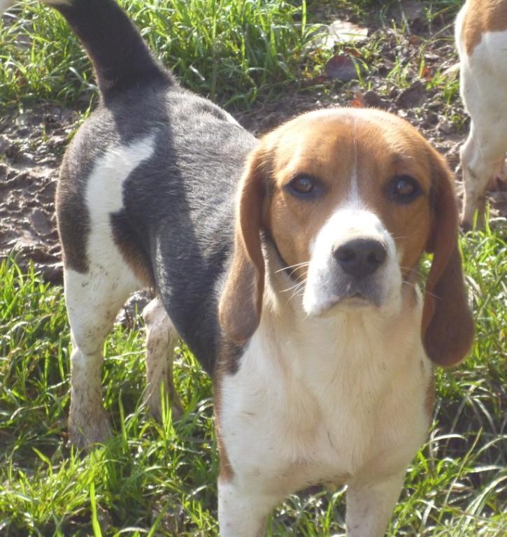 Beagle - Du clos machard Maiko