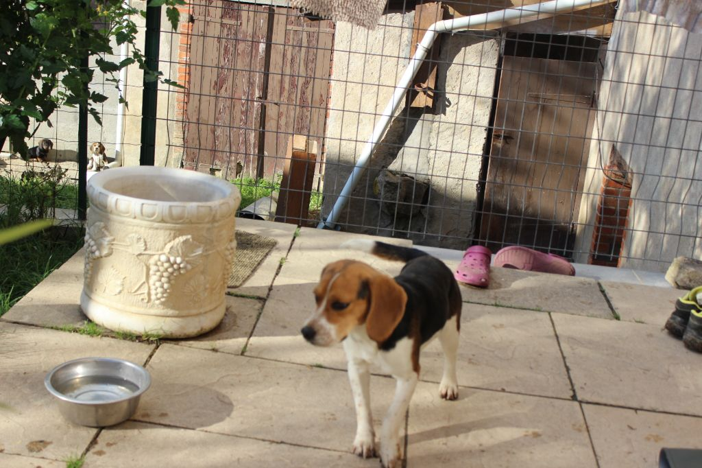 Meduse sans affixe chien de race toutes races en tous - Chien beagle adulte ...