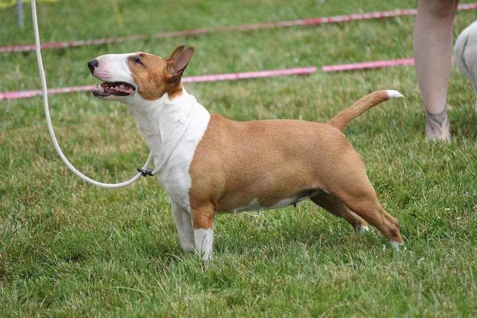 Les Bull Terrier Miniature de l'affixe du Royal Belvédère