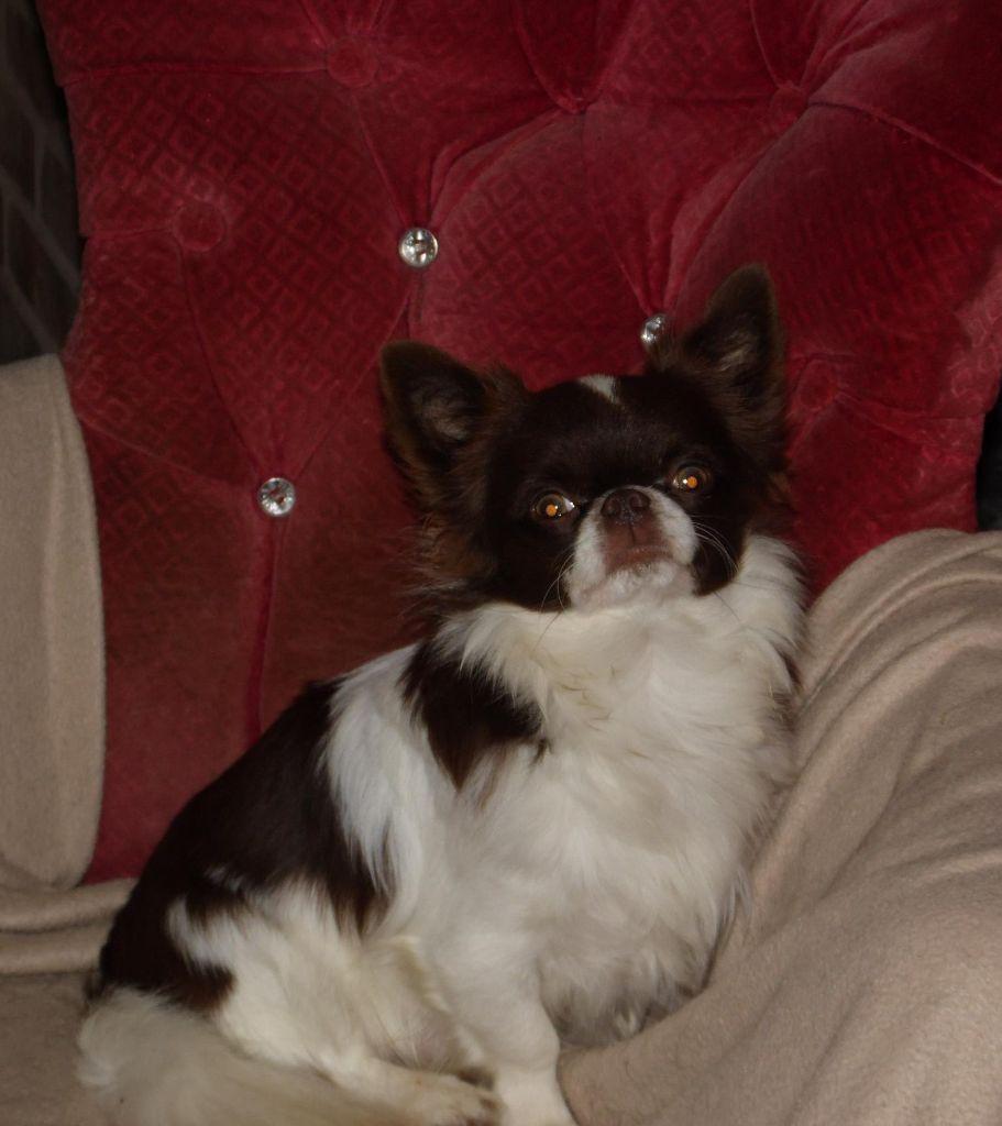 Chihuahua - omnivarus shad Solomon