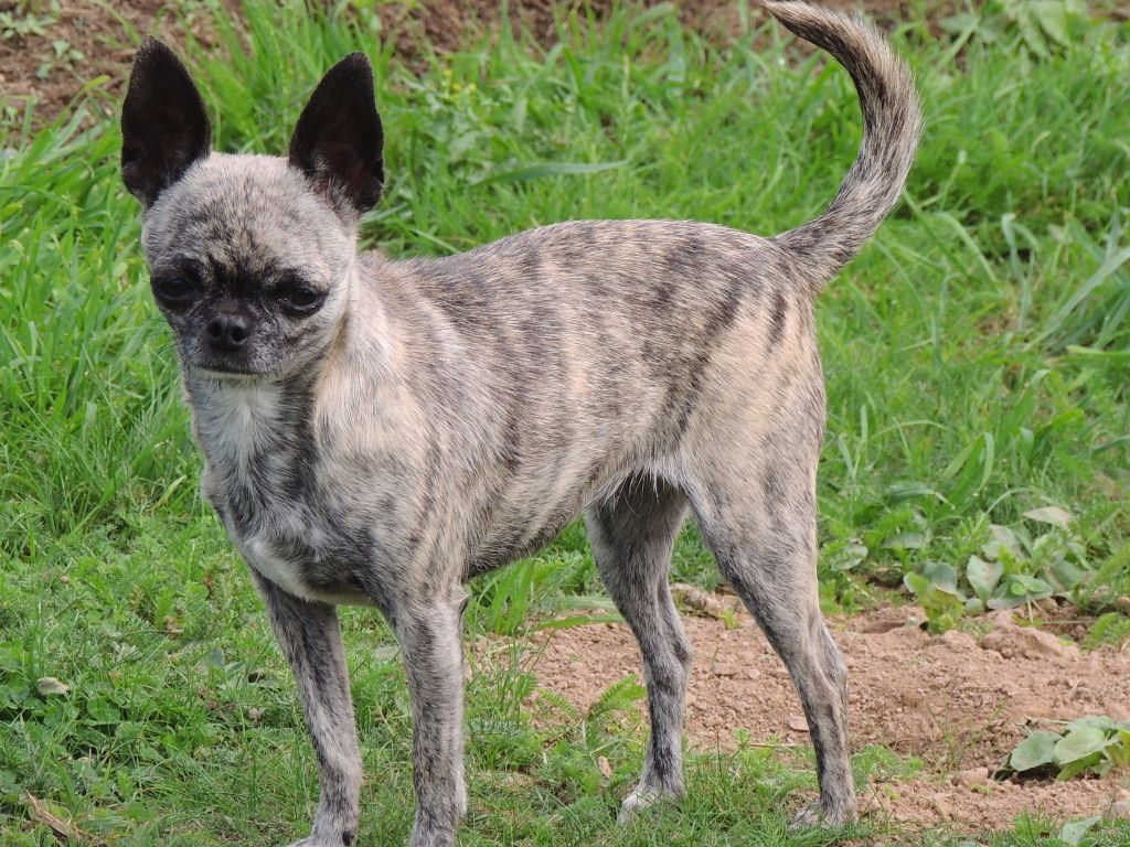 Chihuahua - Jilo des Petits Cactus