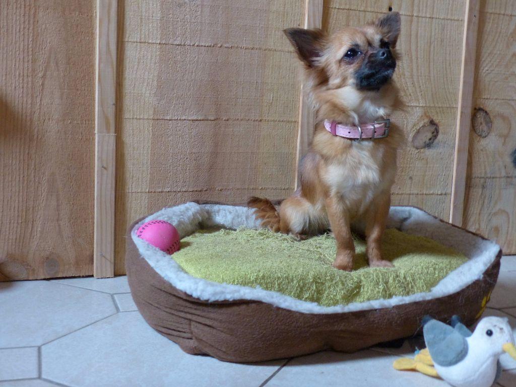Les Chihuahua de l'affixe de l'eole du vigneau