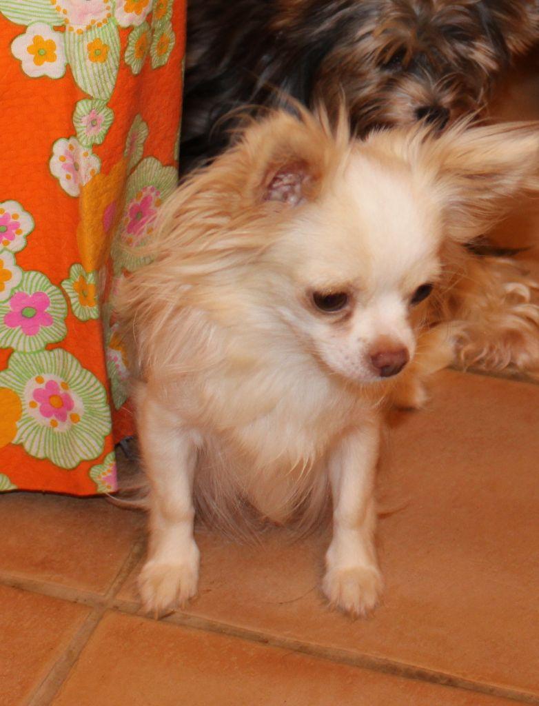 Les Chihuahua de l'affixe De La Colle Des Guis