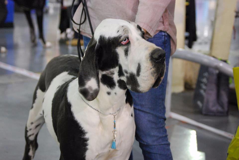 Dogue allemand - Nubie Des Terres De Beaulieu