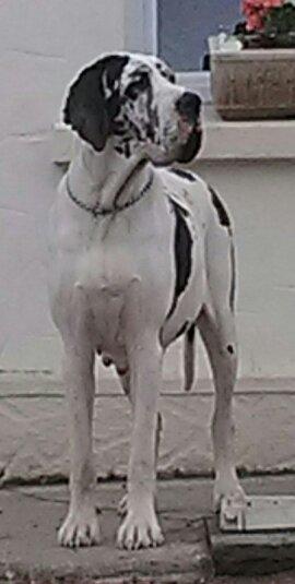 Les Dogue allemand de l'affixe Du Domaine De Chrispat