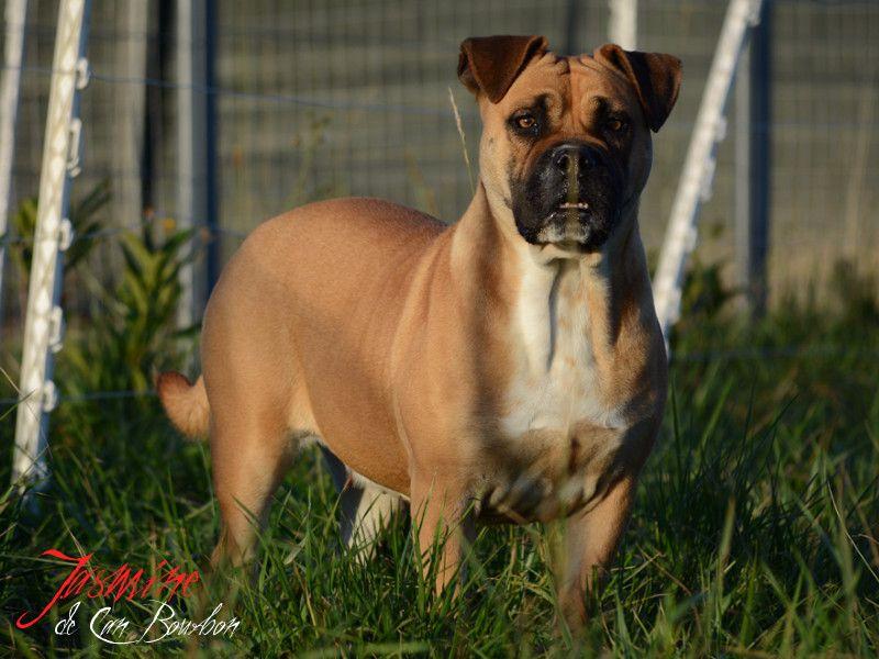 Dogue de Majorque - Jasmine de Can Bourbon