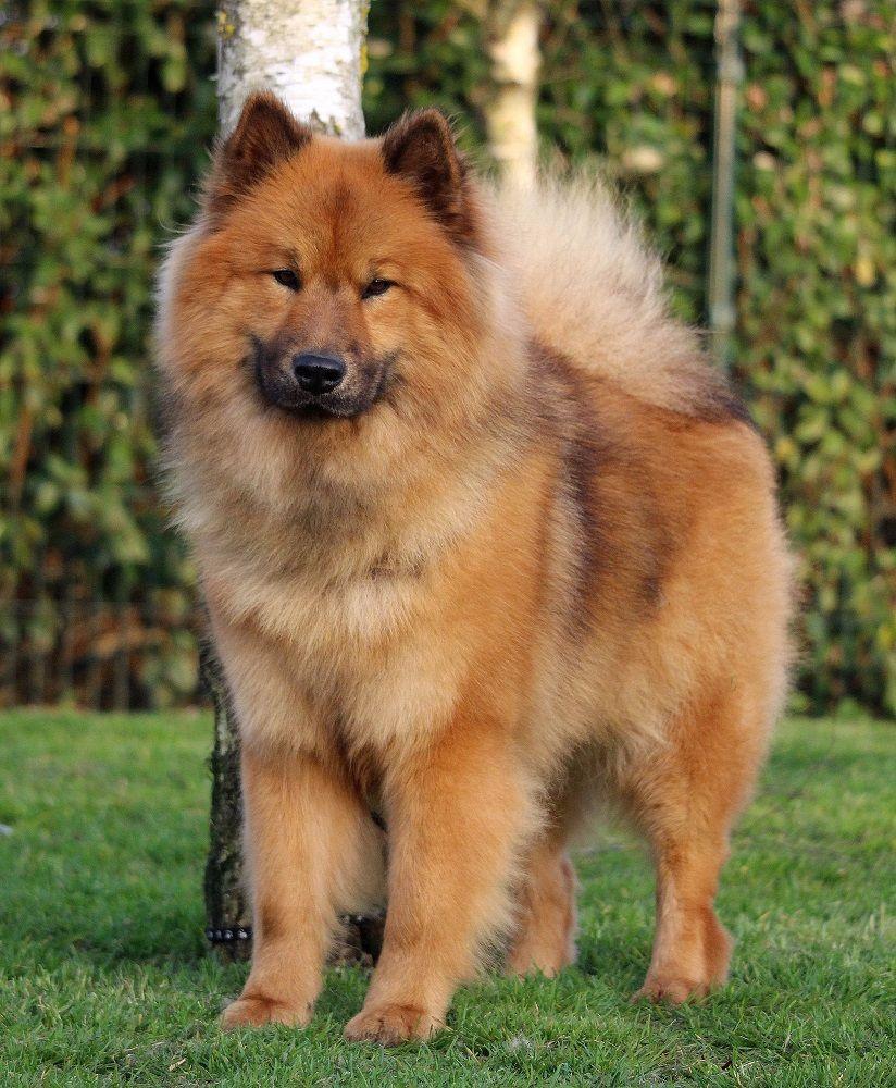 Chien - Elevage Les legendes de retz - eleveur de chiens