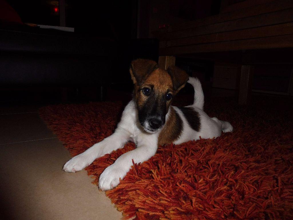 Fox Terrier Poil lisse - Noska Du castel des pres