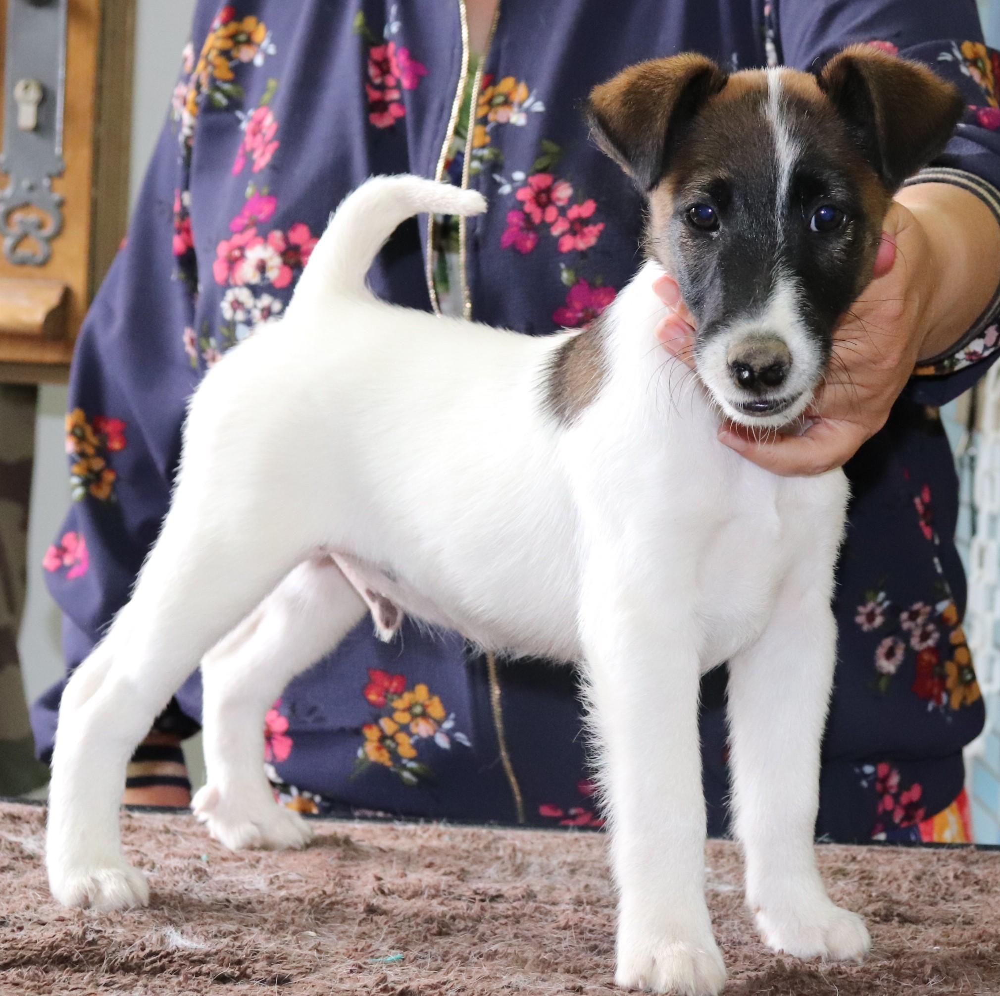 Fox Terrier Poil lisse - Nirvana du Manoir Saint Adrien