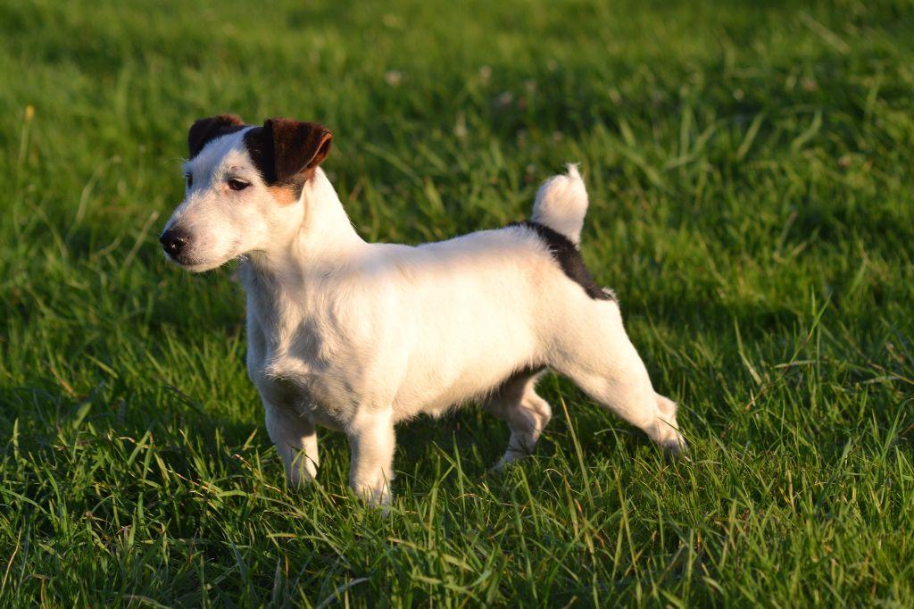 Les Jack Russell Terrier de l'affixe de Plume et de Laine