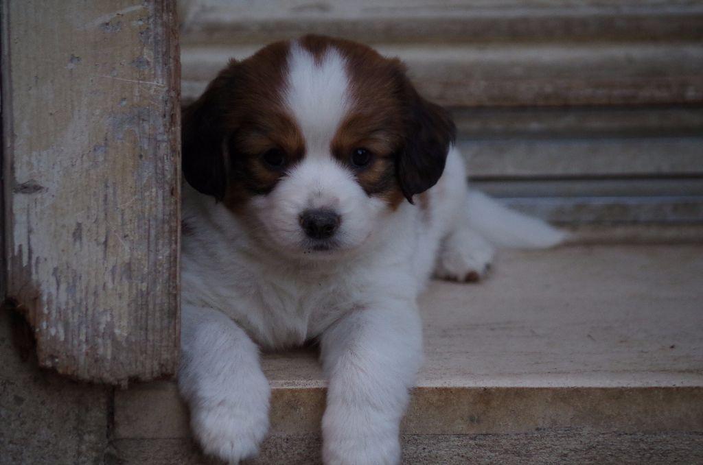 Le Standard de la race Petit chien hollandais de chasse au gibier d'eau sur Atara.com