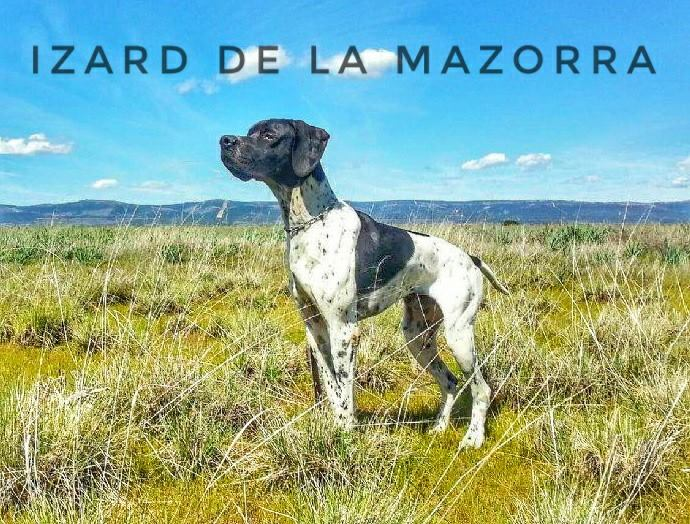 Pointer - Izard De la mazorra