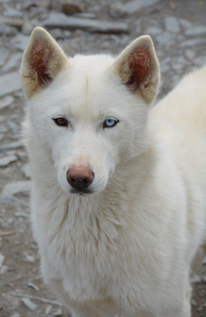 Siberian Husky - Mia des brumes de brocéliande