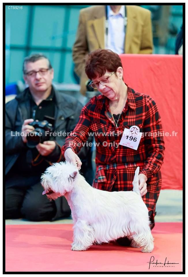 West Highland White Terrier - Giacomo sunshine celebration