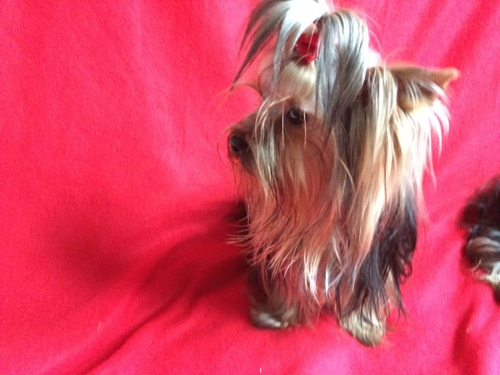 Yorkshire Terrier - Lyvio of Meadow Cottage