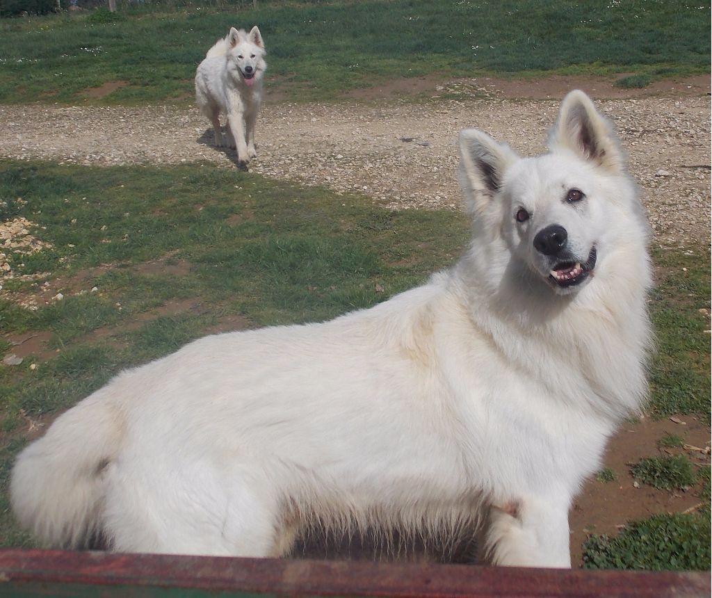 Les Berger Blanc Suisse de l'affixe Des Loups Anges De Kaina