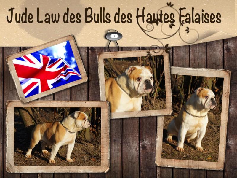 Bulldog Anglais - Jude law des bulls des hautes falaises