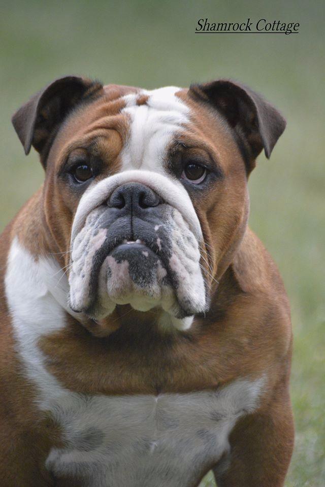 Les Bulldog Anglais de l'affixe Shamrock Cottage
