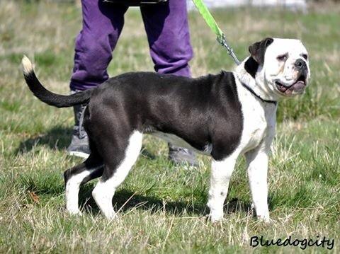 Bulldog continental - pack leader Athéna bdc