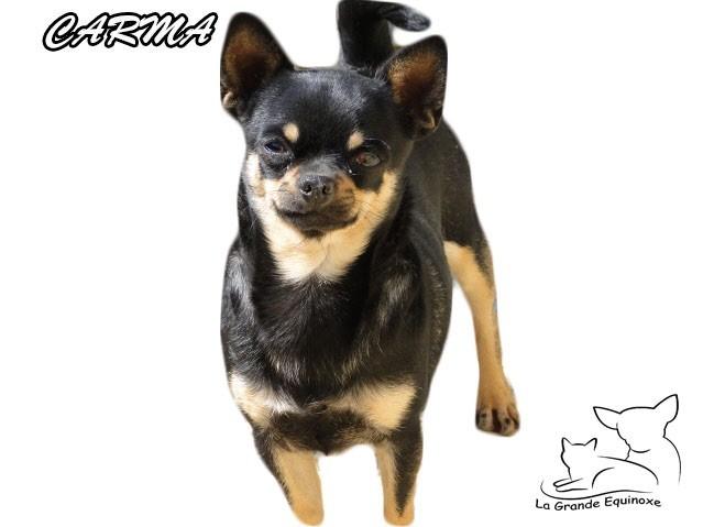 Chihuahua - outwest's Carma