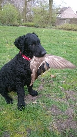 Les Curly Coated Retriever de l'affixe Du Moulin Du Paulu