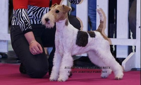 Fox Terrier Poil Dur - CH. Eclair Du clos des amoureux