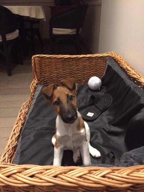 Fox Terrier Poil lisse - Nuxe Du castel des pres