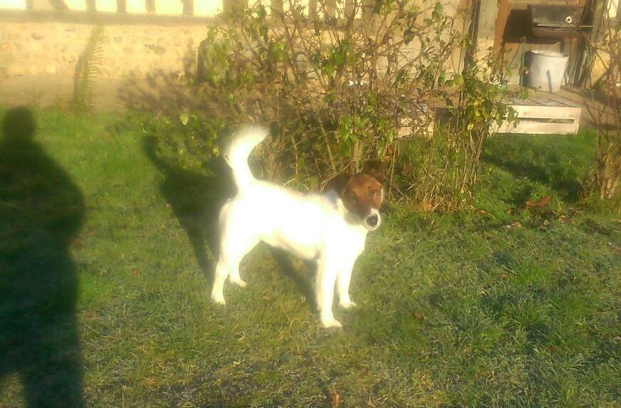 Fox Terrier Poil lisse - Joly jumper du gai tourtel