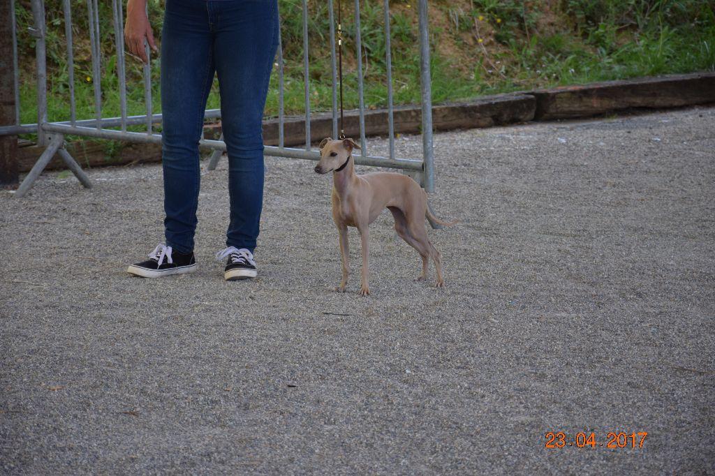 Les Petit Levrier Italien de l'affixe Of Little Dog's Paradise