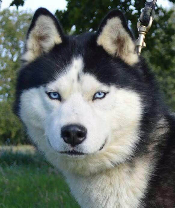 Matrix (Sans Affixe) Siberian Husky