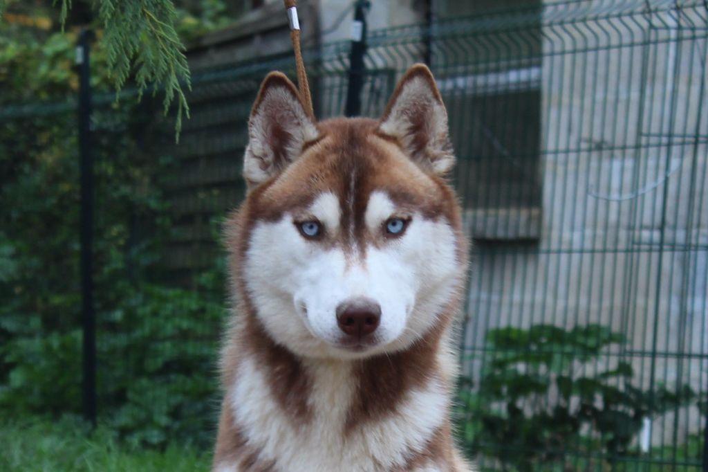 Les Siberian Husky de l'affixe du Domaine D'Eily