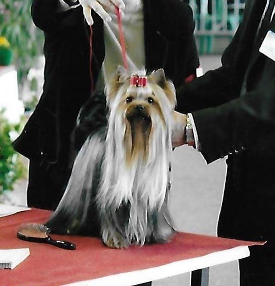 Yorkshire Terrier - CH. Golden-music award Du petit lac saint james