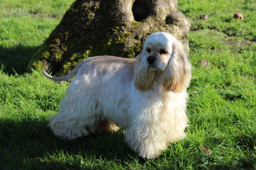 American Cocker Spaniel - CH. Very Vigie Ice tea