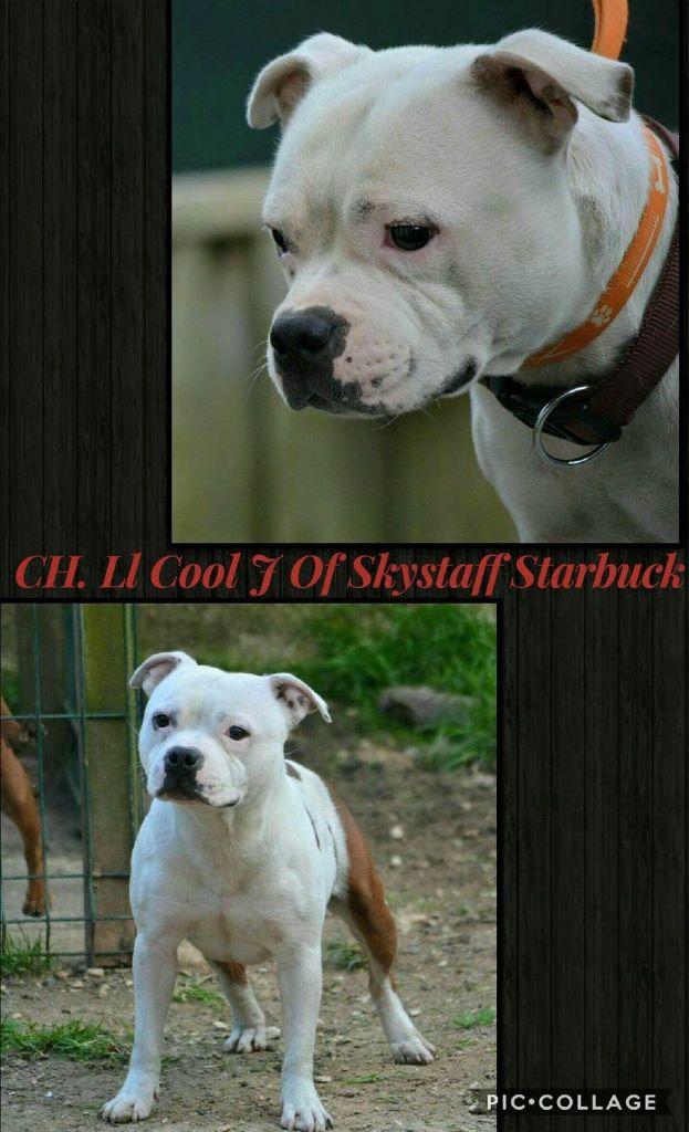 Staffordshire Bull Terrier - CH. Ll cool j of Skystaff Starbuck