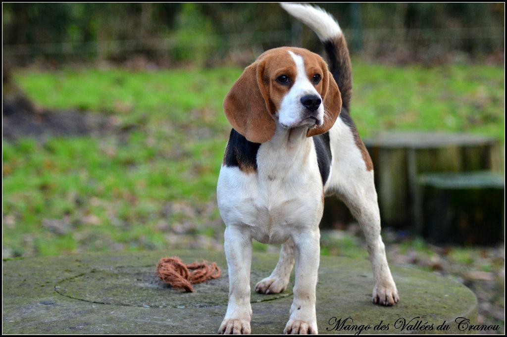 Les Beagle de l'affixe de la vallée Caid