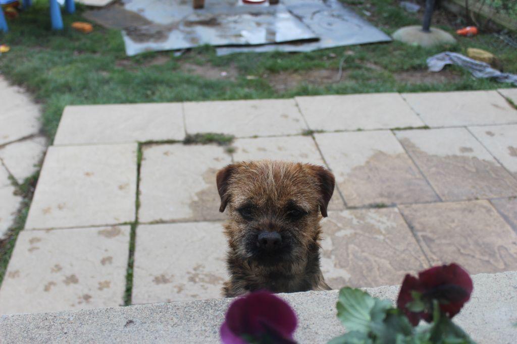 Border Terrier - Nounours de la petite renardiere