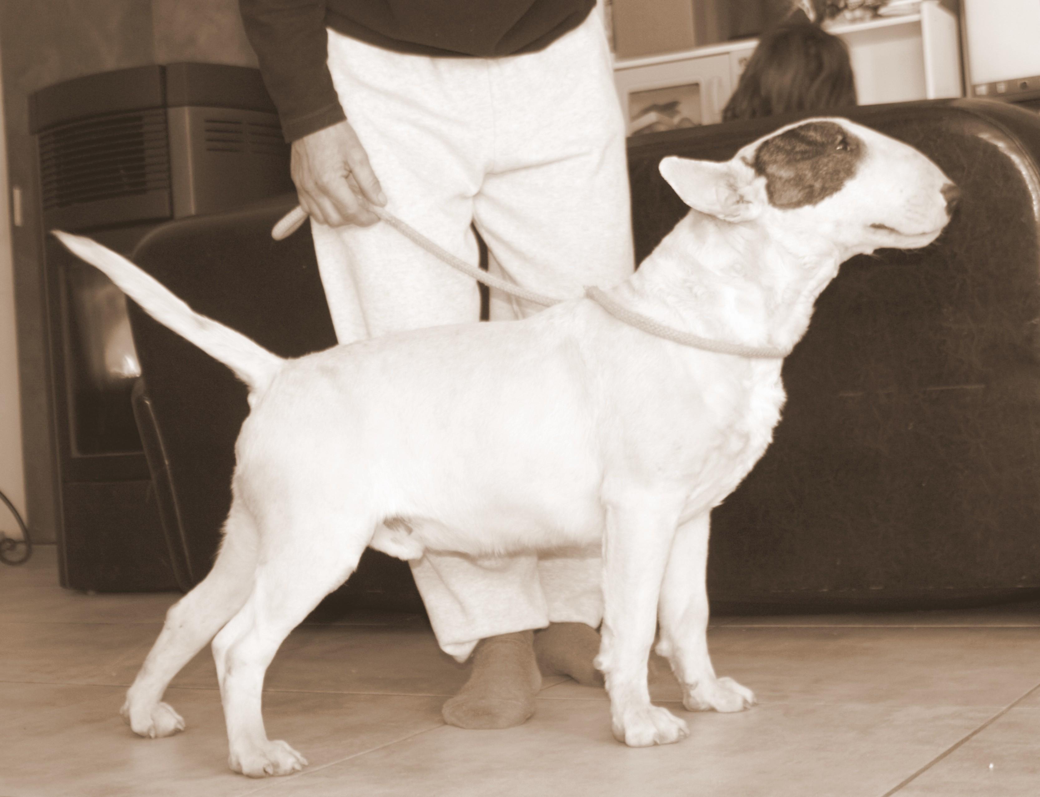 Bull Terrier - Nono lou Prouvencaou