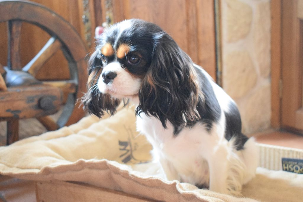 chien elevage des cavaliers des bruyeres eleveur de chiens cavalier king charles spaniel. Black Bedroom Furniture Sets. Home Design Ideas