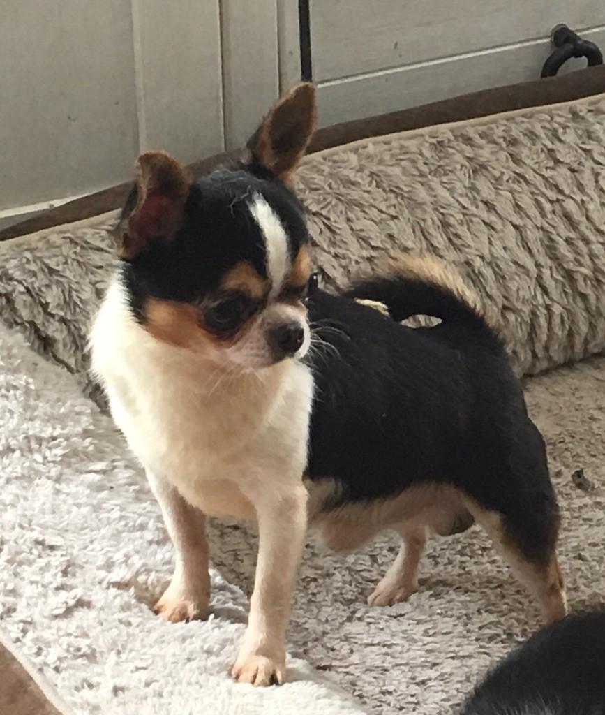 Chihuahua - Jimmy Des lianes de mysore