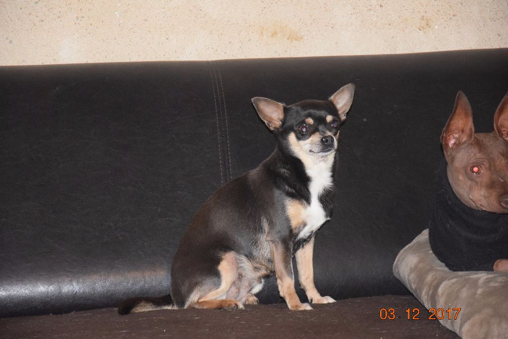Les Chihuahua de l'affixe Of Little Dog's Paradise