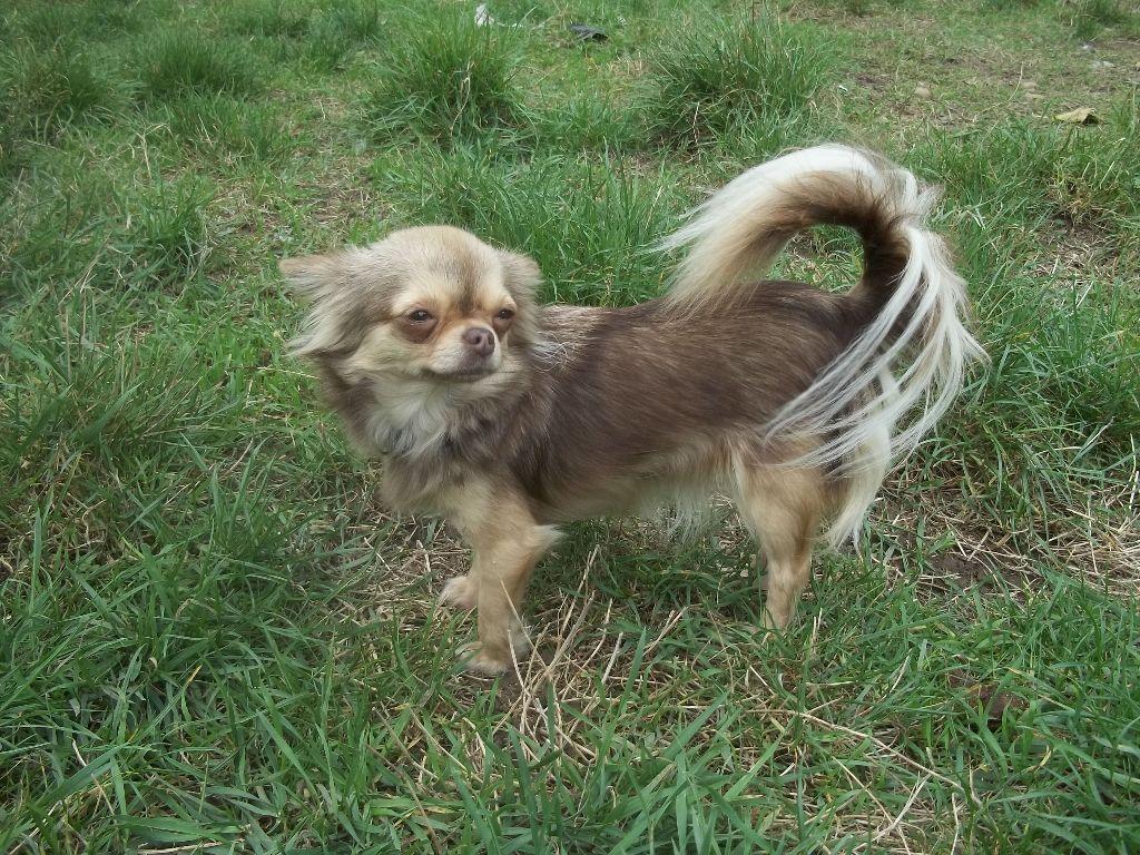 Les Chihuahua de l'affixe Des Iris Du Parc Royal