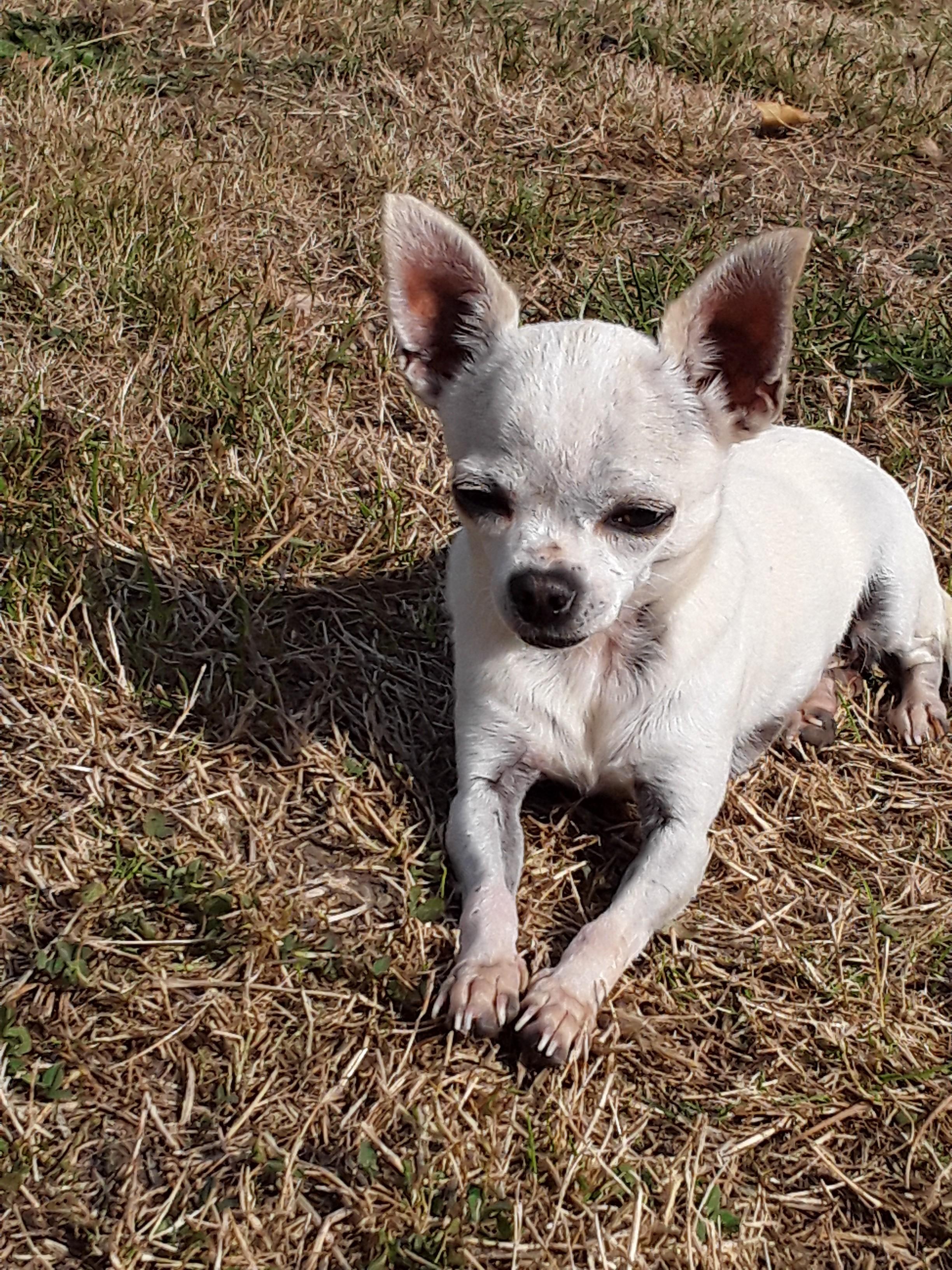 Les Chihuahua de l'affixe du Domaine des Lavagnes