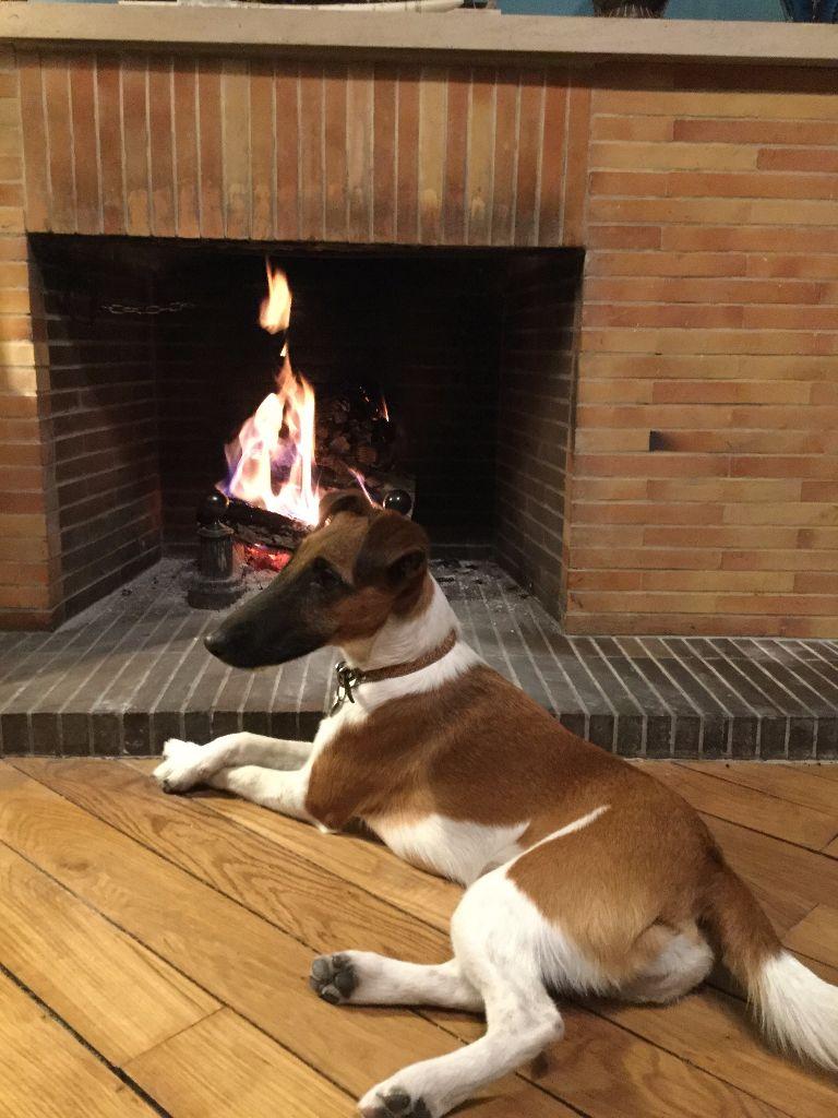 Fox Terrier Poil lisse - N'die Du castel des pres