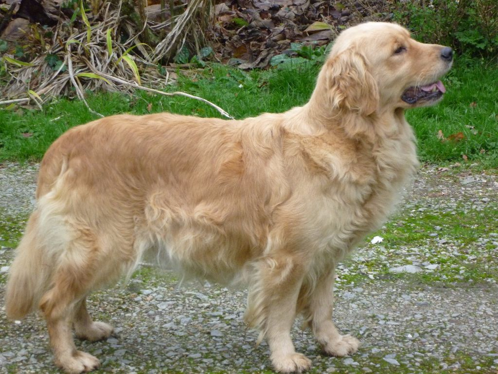 Galway girl des Berberis Golden Retriever