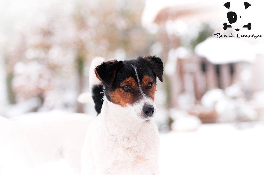 Jack Russell Terrier - Quick admiko