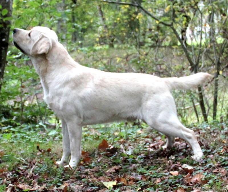 Labrador Retriever - Dundee fert of tey