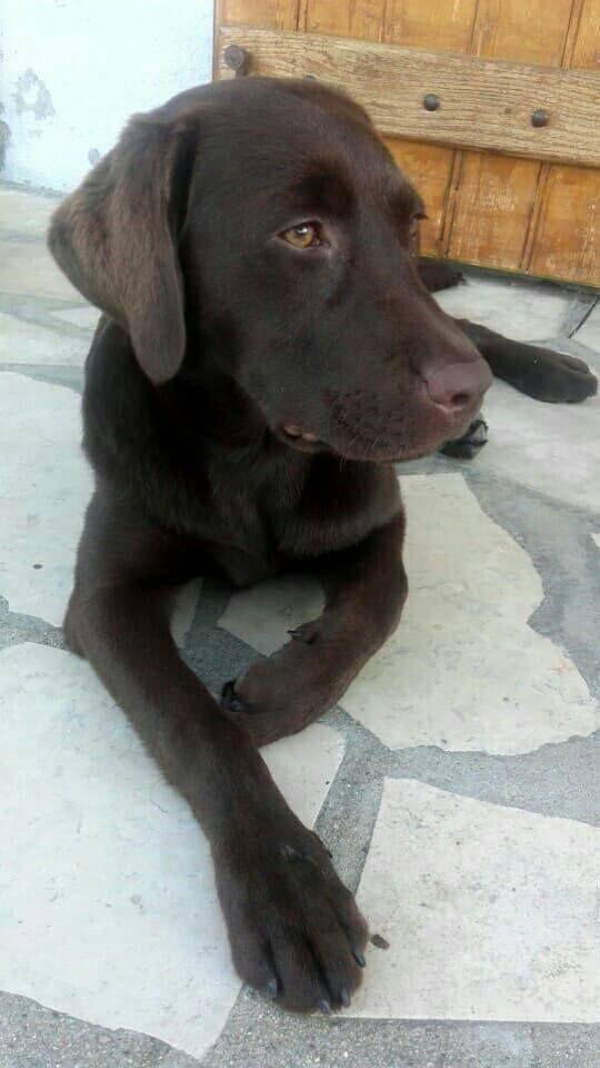 Les Labrador Retriever de l'affixe Du domaine de la villatelle