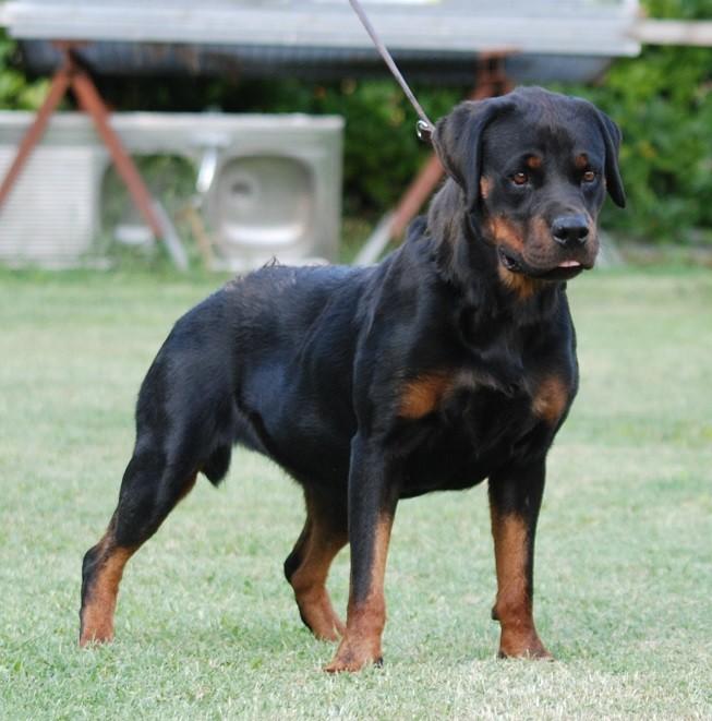 Rottweiler - Jacy des Ops de Lif Thraser