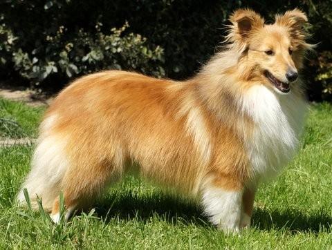 Shetland Sheepdog - Milione Des Cerberes De L'isaac