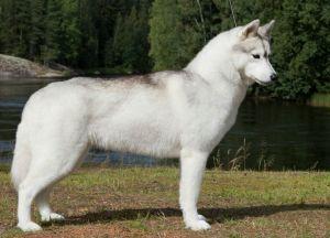 Siberian Husky - bedarra Alhana starbreeze